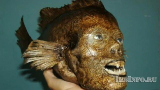 Экспонат головы русалки