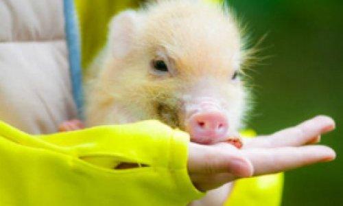 Свинья с геном неуязвимости