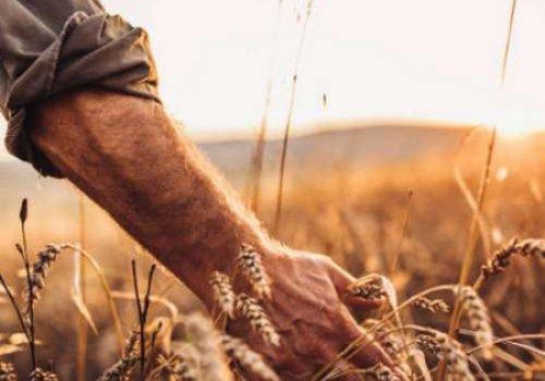 Современная пшеница убивает