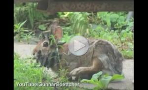 В Миннесоте два брата сняли на видео рогатого кролика